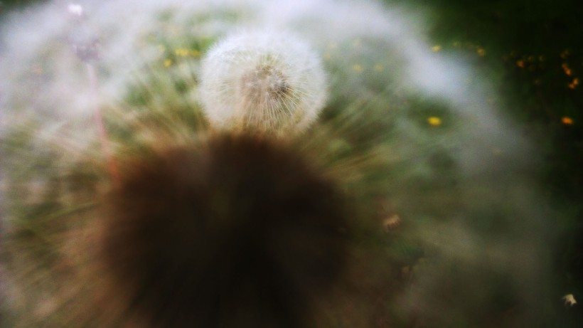 dandelions point of view